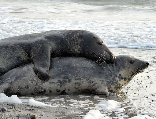 SEA 04 AC0012 01 © Kimball Stock Grey Seals Mating, Dune Of Heligoland, Scheleswig-Holstein, Germany