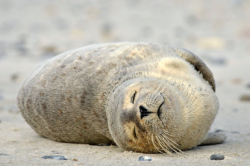 SEA 04 AC0013 01 © Kimball Stock Harbor Seal (Common Seal) Laying Happily, Dune Of Heligoland, Scheleswig-Holstein, Germany