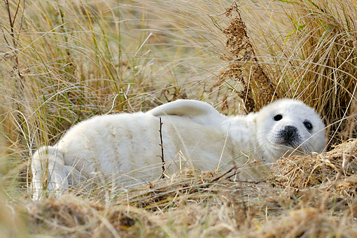 SEA 04 AC0015 01 © Kimball Stock Grey Seal Sitting Young Laying In Grass, Dune Of Heligoland, Scheleswig-Holstein, Germany