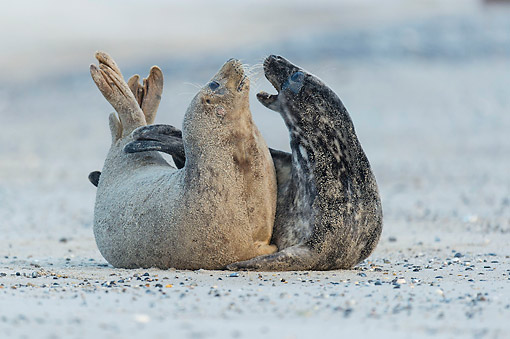 SEA 04 AC0016 01 © Kimball Stock Gray Seals Hugging