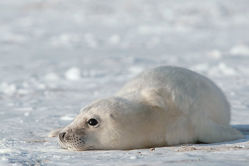 SEA 04 AC0017 01 © Kimball Stock Grey Seal (Also Atlantic Seal Or Horsehead Seal) Young Laying On Ice In Germany
