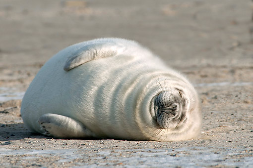SEA 04 AC0018 01 © Kimball Stock Grey Seal (Also Atlantic Seal Or Horsehead Seal) Young Laying In Germany