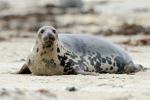 SEA 04 AC0019 01 © Kimball Stock Gray Seal Laying On Beach, Germany