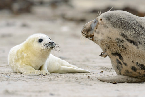 SEA 04 AC0020 01 © Kimball Stock Gray Seal Pup And Adult Laying On Beach, Germany