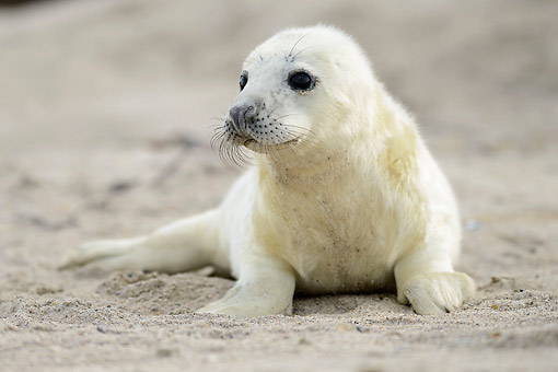 SEA 04 AC0021 01 © Kimball Stock Gray Seal Pup Laying On Beach, Germany