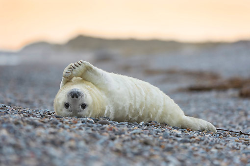 SEA 04 AC0023 01 © Kimball Stock Gray Seal (Also Called Atlantic Seal Or Horsehead Seal) Pup Laying On Beach