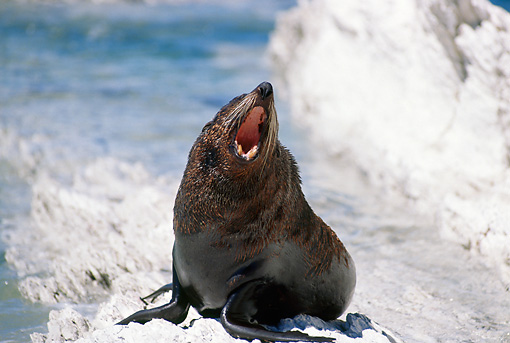 SEA 04 BA0001 01 © Kimball Stock New Zealand Fur Seal Sitting On Rocky Beach Barking