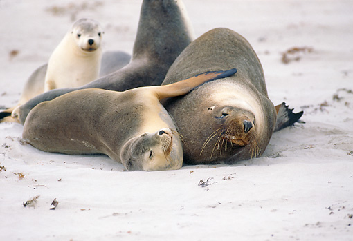 SEA 04 GL0001 01 © Kimball Stock Australian Sea Lions Laying On Beach