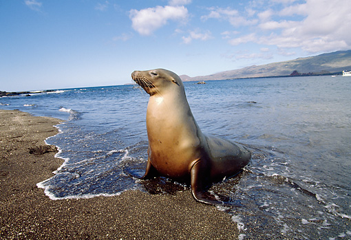 SEA 04 GL0002 01 © Kimball Stock Galapagos Sea Lion Sitting On Beach