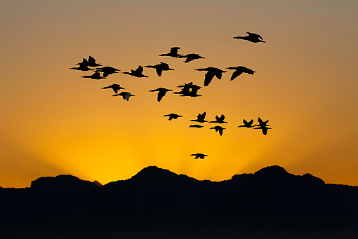 SEA 04 GL0007 01 © Kimball Stock Silhouette Of Cape Cormorants Flying At Sunset Over Seal Island In False Bay, South Africa