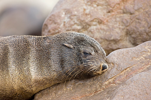 SEA 04 GL0008 01 © Kimball Stock South African Fur Seal Female Sleeping On Rock In Cape Cross, Namibia