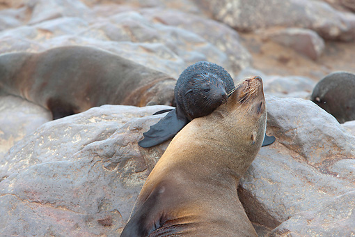 SEA 04 JE0003 01 © Kimball Stock Young Brown Fur Sea Lion Nuzzling Mother On Rocks In Cape Cross, Namibia