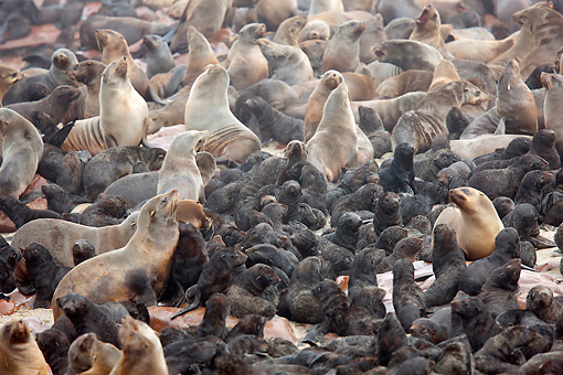 SEA 04 JE0009 01 © Kimball Stock Colony Of Brown Fur Sea Lions On Rocks In Cape Cross, Namibia