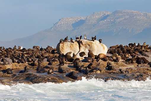 SEA 04 KH0014 01 © Kimball Stock Colony Of Brown (aka Cape or South African) Fur Seals Laying On Rocky Beach By Ocean