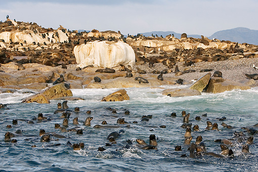 SEA 04 KH0015 01 © Kimball Stock Colony Of Brown (aka Cape or South African) Fur Seals On Rocky Beach And In Ocean