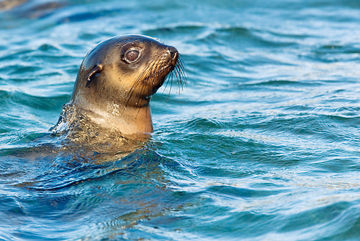 SEA 04 KH0017 01 © Kimball Stock Head Shot Of Brown (aka Cape or South African) Fur Seals Swimming In Ocean
