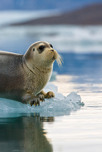 SEA 04 KH0018 01 © Kimball Stock Young Bearded Seal Resting On Piece Of Sea Ice