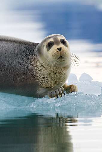 SEA 04 KH0019 01 © Kimball Stock Young Bearded Seal Resting On Piece Of Sea Ice
