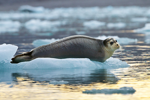SEA 04 KH0020 01 © Kimball Stock Young Bearded Seal Resting On Piece Of Sea Ice