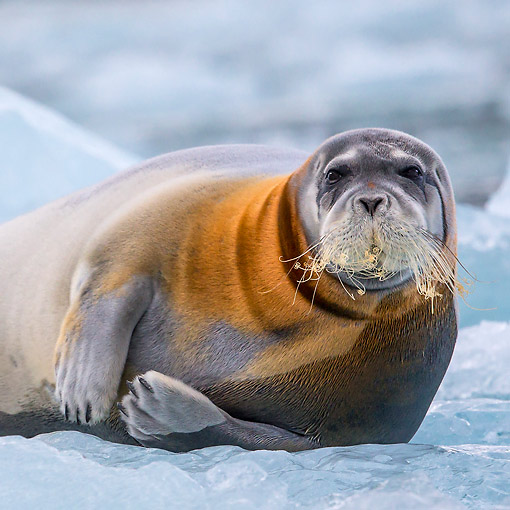 SEA 04 KH0022 01 © Kimball Stock Bearded Seal Laying On Sea Ice Svalbard