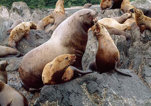 SEA 04 LS0003 01 © Kimball Stock Steller's Sea Lions Barking On Rocks