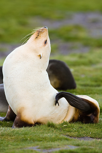 SEA 04 MC0002 01 © Kimball Stock Antarctic Fur Seal In Blonde Phase Sitting Up On Grass