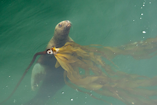 SEA 04 MC0007 01 © Kimball Stock Steller's Sea Lion Swimming To Surface Of Water Alaska