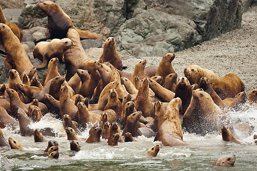 SEA 04 MC0009 01 © Kimball Stock Colony Of Steller's Sea Lions Racing Into Water Alaska