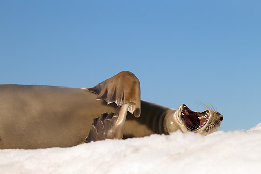 SEA 04 MC0012 01 © Kimball Stock Close-Up Of Crabeater Seal Yawning On Ice