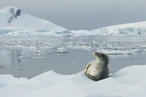 SEA 04 MC0014 01 © Kimball Stock Crabeater Seal Laying On Ice Floe On Anarctic Peninsula