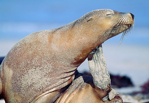 SEA 04 MH0003 01 © Kimball Stock Close-Up Of Australian Sea Lion Scratching Neck On Beach
