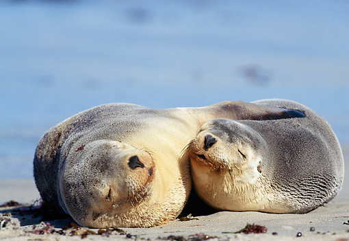 SEA 04 MH0004 01 © Kimball Stock Two Australian Sea Lions Sleeping On Beach