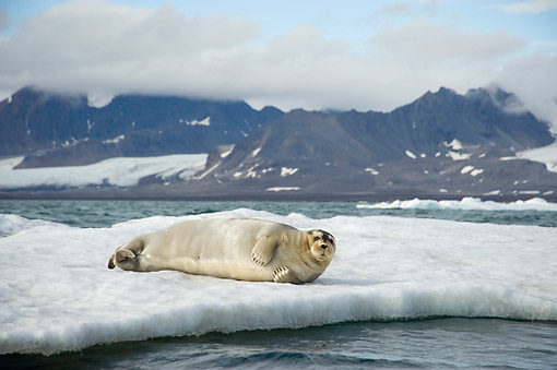 SEA 04 SK0022 01 © Kimball Stock Bearded Seal Pup Resting On Sea Ice Along Spitsbergen And Northwestern Coast Of Svalbard