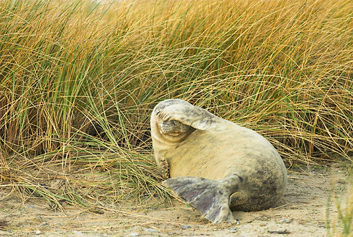 SEA 04 WF0002 01 © Kimball Stock Gray Seal Pup Scratching Head With Flipper