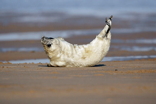 SEA 04 WF0003 01 © Kimball Stock Gray Seal Pup Laying On Beach