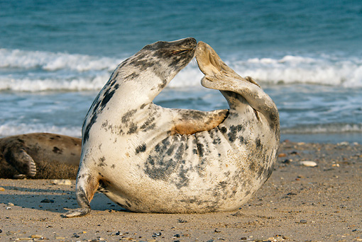 SEA 04 WF0006 01 © Kimball Stock Gray Seal Female Stretching On Beach
