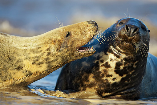 SEA 04 WF0007 01 © Kimball Stock Gray Seal Female Calling Aggressively Toward Male