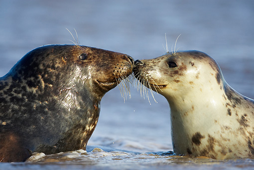 SEA 04 WF0008 01 © Kimball Stock Gray Seal Female Nose To Nose With Male