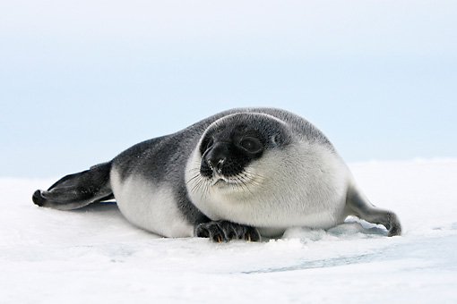 SEA 04 WF0013 01 © Kimball Stock Hooded Seal Baby Sitting On Ice