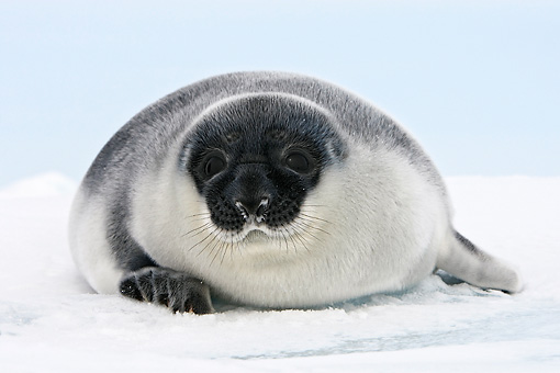 SEA 04 WF0014 01 © Kimball Stock Hooded Seal Baby Sitting On Ice