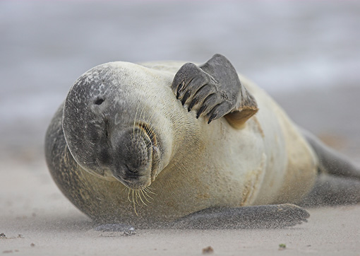 SEA 04 WF0015 01 © Kimball Stock Common Seal Scratching Head While Laying On Sand During Sandstorm