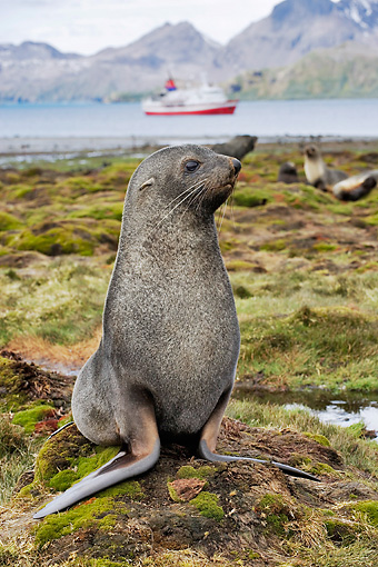 SEA 04 WF0017 01 © Kimball Stock Antarctic Fur Seal Sitting On Grass With Water And Boat In Background
