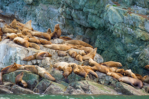 SEA 04 JM0002 01 © Kimball Stock Steller's Sea Lions Congregating On Rocks