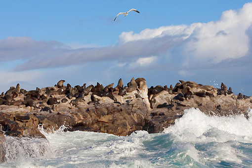 SEA 04 KH0001 01 © Kimball Stock Colony Of Brown (aka Cape or South African) Fur Seals Laying On Rock In Ocean
