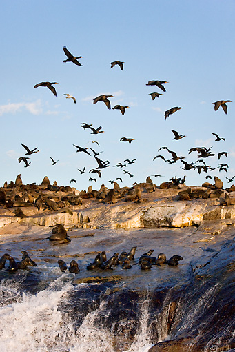 SEA 04 KH0002 01 © Kimball Stock Colony Of Brown (aka Cape or South African) Fur Seals Laying On Rock With Cape Cormorants Flying Above