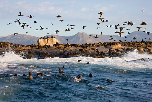 SEA 04 KH0003 01 © Kimball Stock Colony Of Brown (aka Cape or South African) Fur Seals Laying On Beach With Cape Cormorants Flying Above