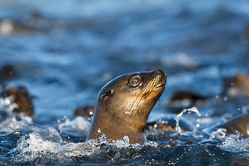 SEA 04 KH0005 01 © Kimball Stock Head Shot Of Brown (aka Cape or South African) Fur Seal Swimming In Ocean
