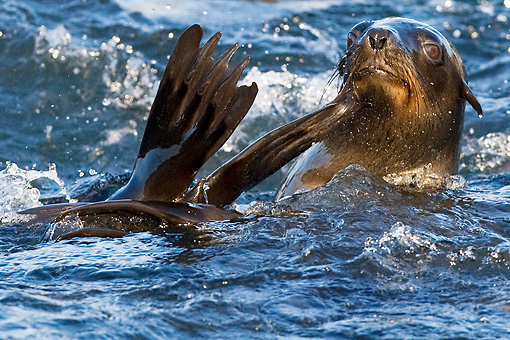 SEA 04 KH0007 01 © Kimball Stock Brown (aka Cape or South African) Fur Seal Swimming In Ocean