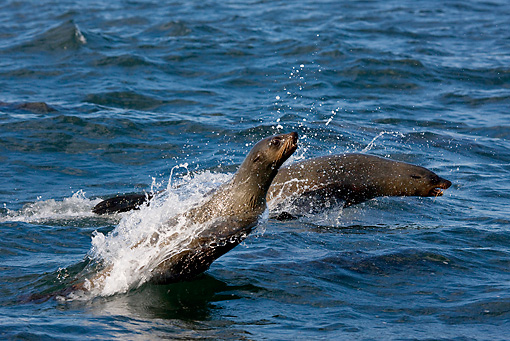 SEA 04 KH0009 01 © Kimball Stock Brown (aka Cape or South African) Fur Seals Leaping In Ocean