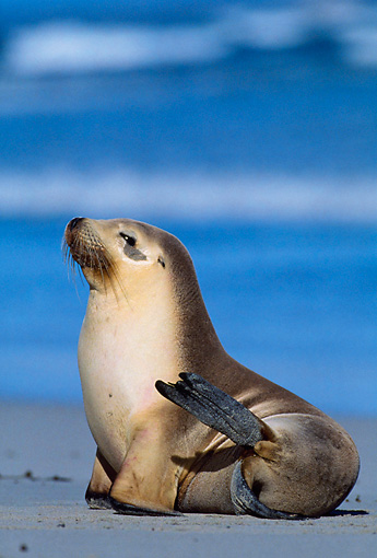 SEA 04 KH0010 01 © Kimball Stock Australian Sea Lion Sitting On Beach